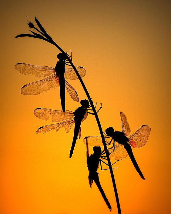 dragonfly silhouettes.jpg