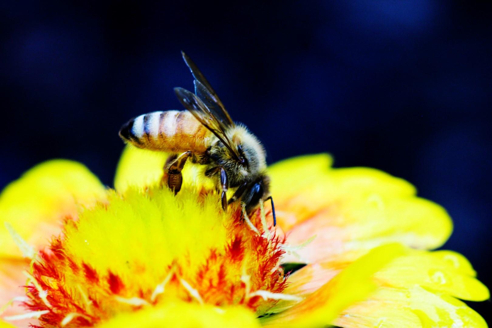Honey bee macro flower