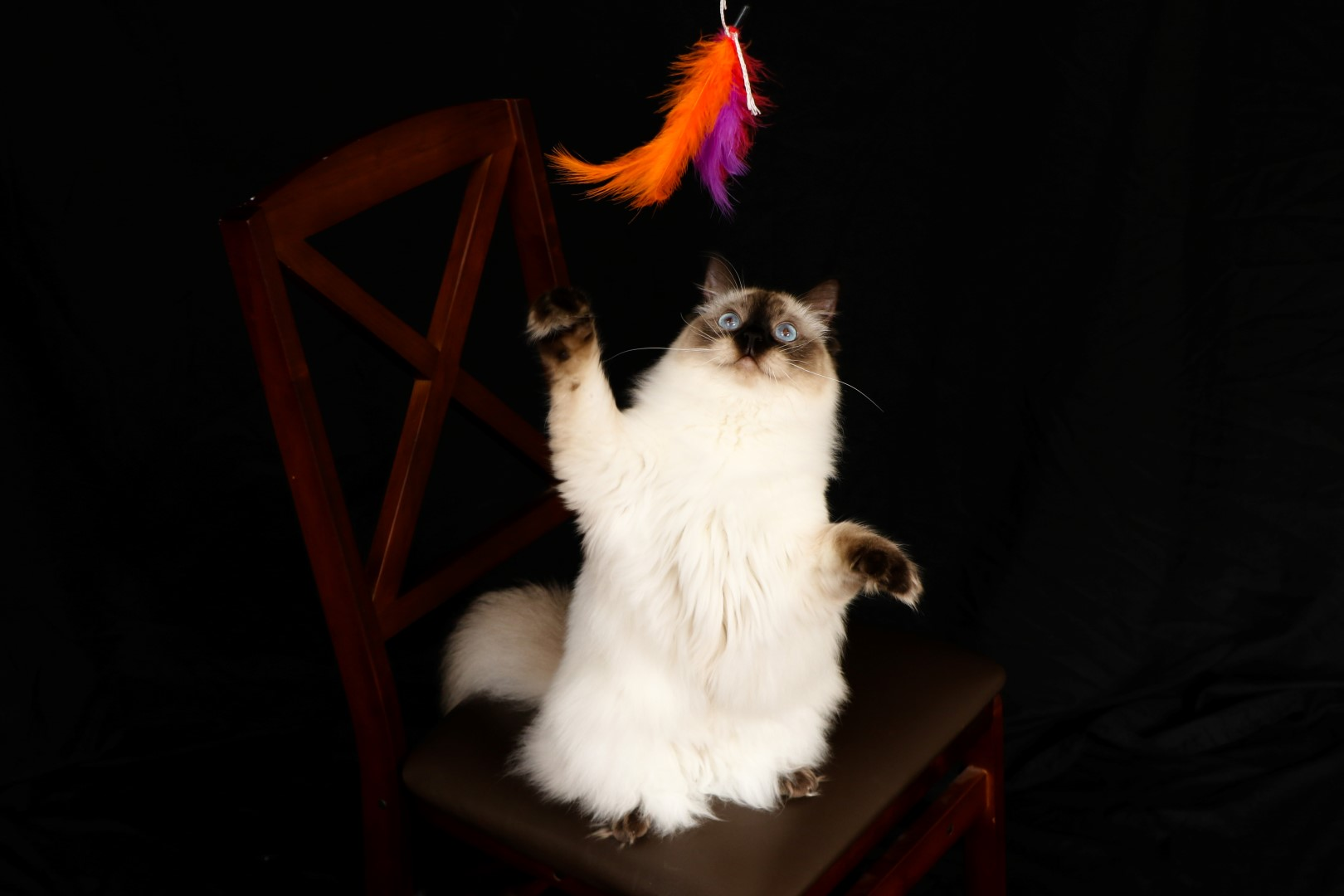 Ragdoll Cat playing with feather