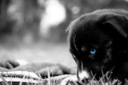 Puppy selective color eye blue