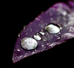 Purple leaf macro water drops