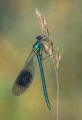 Banded Demoiselle, just emerged from Larval Case