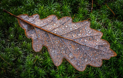 Oak leaf on moss