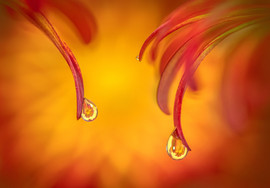 Droplets on Chrysanthemum