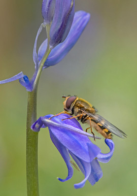 Hoverfly on Bluebell