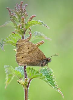 Meadow Brown on Nettle