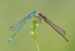 Common Blue and Large Red Damselflies