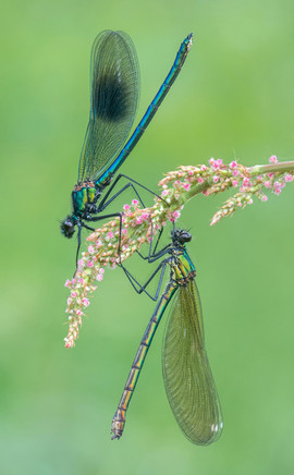 Male and Female Banded Demoiselle on Sorrel