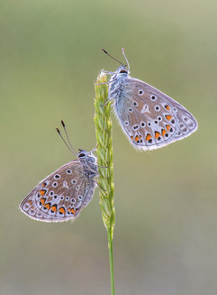 Common Blues on Crested Dog's Tail