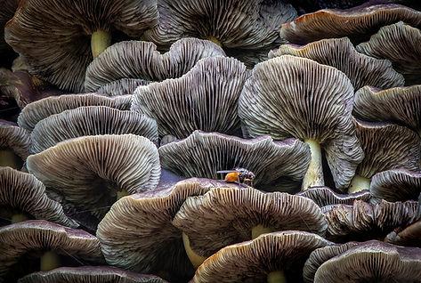 Plants-and-Fungi-North-Tony-Mushroom-Maz