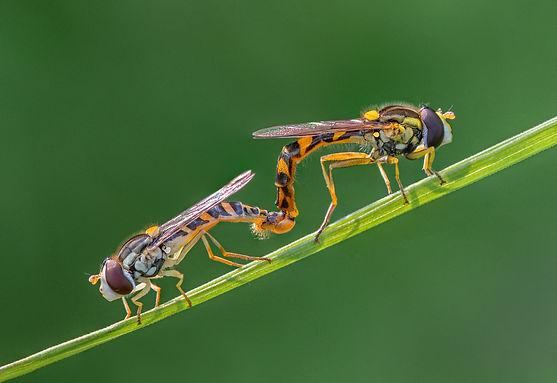 Hoverflies mating.jpg