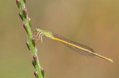 Yellow Waxtail