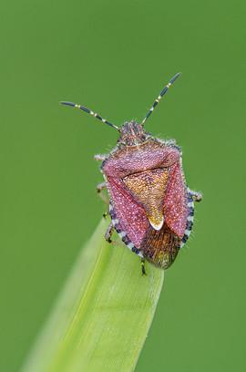 Hairy Shield Bug