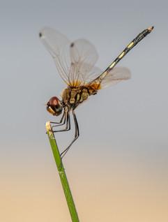 Dragonfly (unknown species)