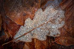 Oak leaf on Beech leaves