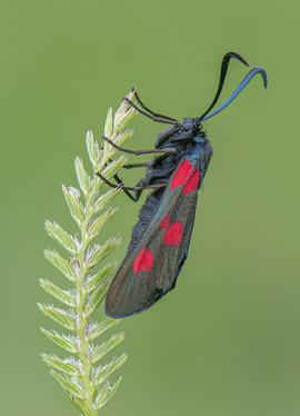 Five-spot Burnet moth on Crested Dog's Tail