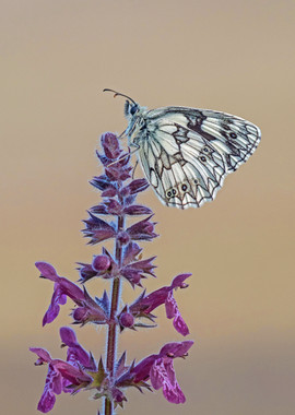 Marbled White on Hedge Woundwort