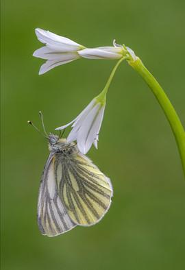 Green-veined White on Three-cornered Garlic