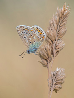Common Blue on Cocksfoot Grass