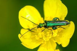 Fat-legged Beetle on Buttercup