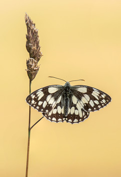 Marbled White on Cocksfoot Grass