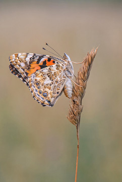 Painted Lady on Cocksfoot Grass