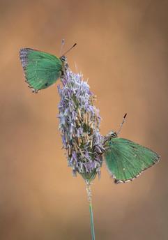 Green Hairstreaks on Meadow Foxtail