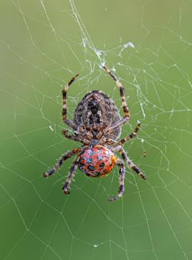 Garden Spider with Ladybird