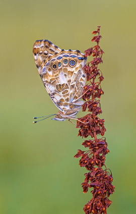 Painted Lady on Sorrel