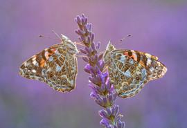 Pained Ladies on lavender