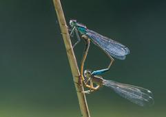 Mating Blue-tailed Damselflies
