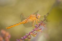 Female Scarlet Skimmer