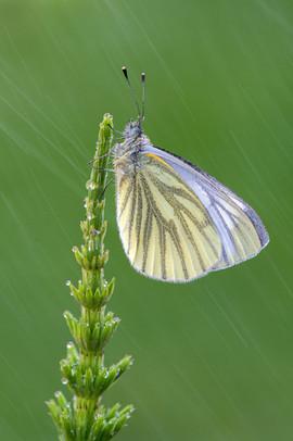 Green-veined White on Horsetail