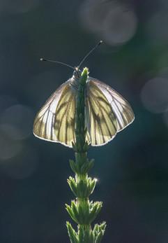 Green-veiend White on Horsetail