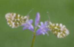Orange Tips on Bluebell.jpg