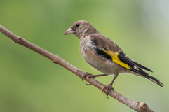Goldfinch juvenile