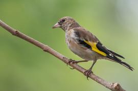 Goldfinch juvenile