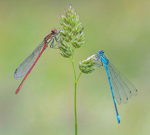 Large Red and Common Blue Damselflies