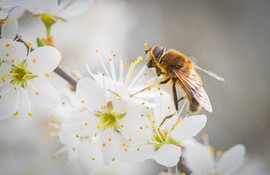 Hoverfly on Blackthorn