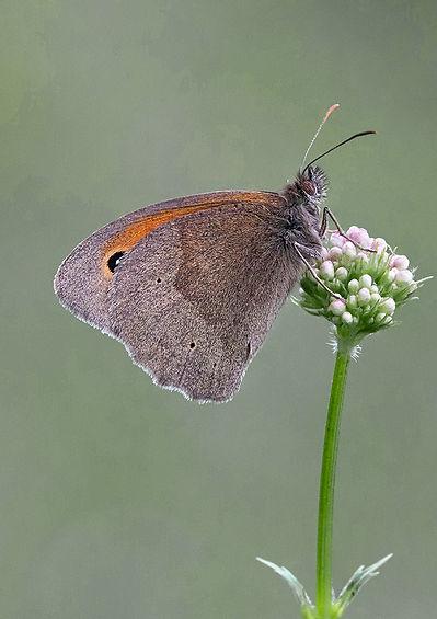 Meadow Brown by David Woodhead