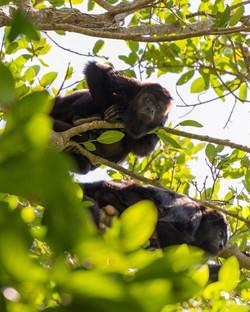 Subpost 1 - The black howler monkey (Alo