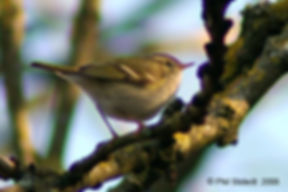 YBrowed-Warbler_1as.jpg