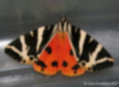 Jersey-Tiger_CBuckland_2385_1a.jpg