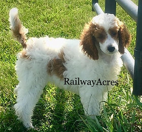 Our Poodle Girls Railway Acres Poodles And Doodles