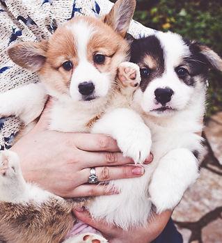 corgi puppies in oregon