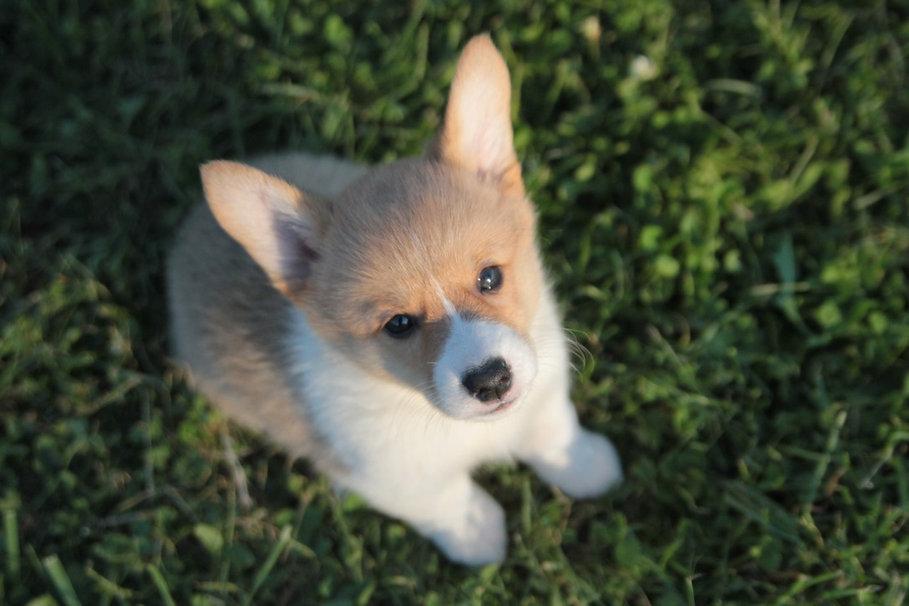 corgi puppies oregon