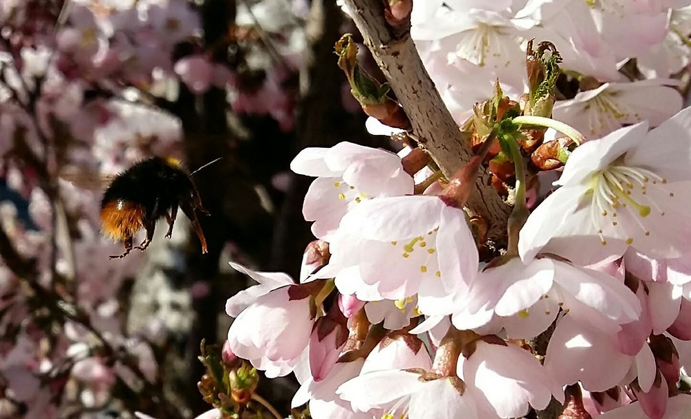 Hummel im Anflug auf die nächste Blüte