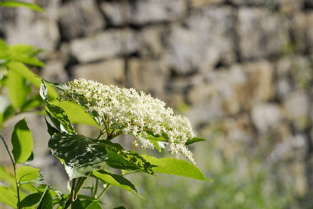 Holunder in voller Blüte