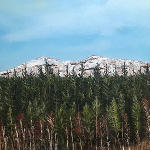 Pine trees in Glen Morriston