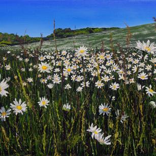 May daisy meadow